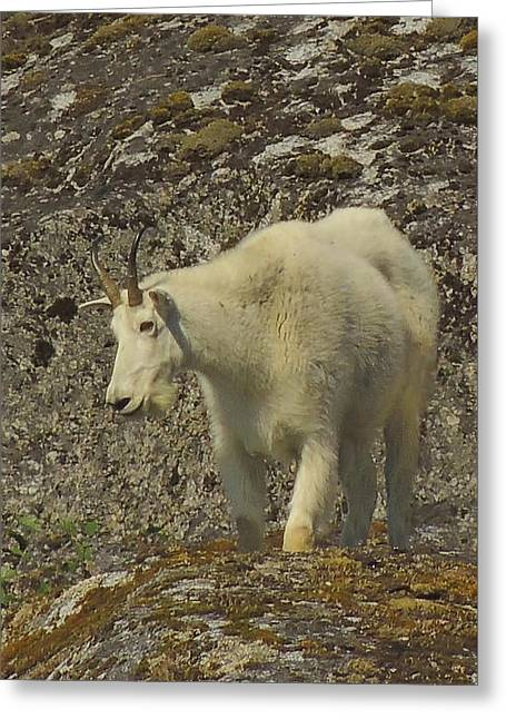 Mountain Goat Ewe Greeting Card