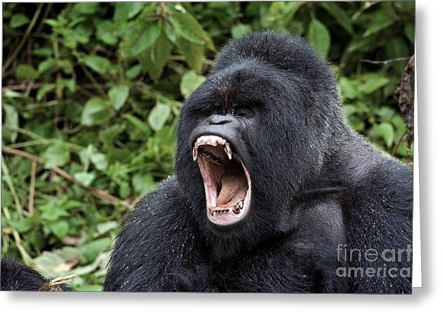 Mountain Gorilla Male Yawning Greeting Card by Tony Camacho