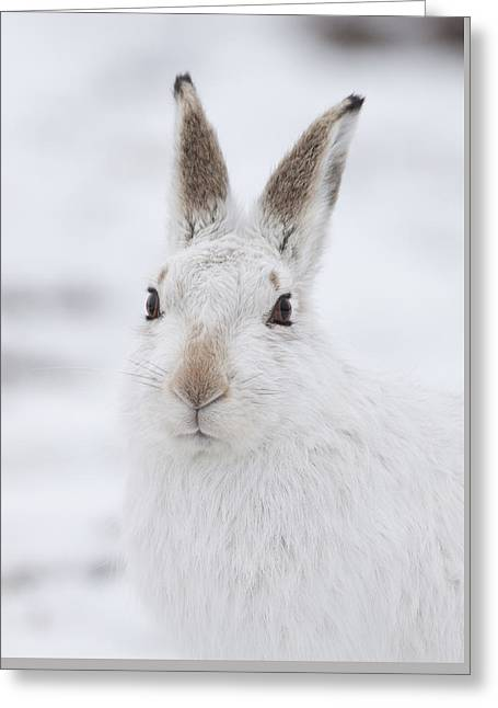 Mountain Hare In The Snow - Lepus Timidus  #1 Greeting Card