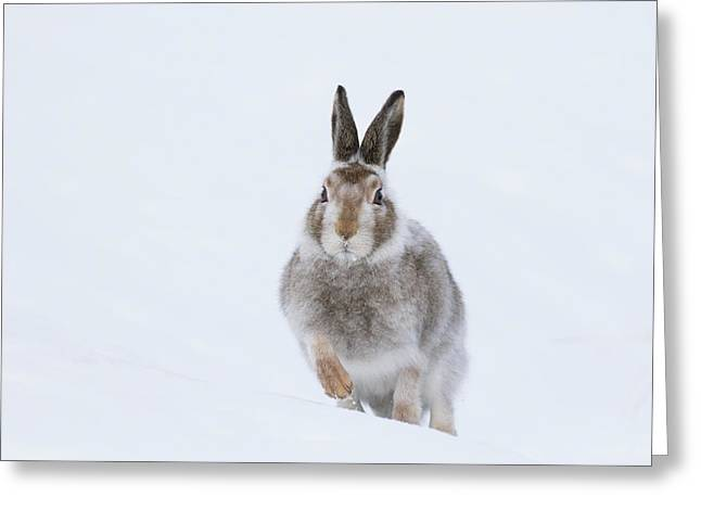 Mountain Hare - Scotland Greeting Card