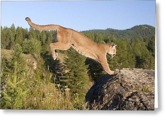 Mountain Lion Puma Concolor Jumping Greeting Card by Matthias Breiter