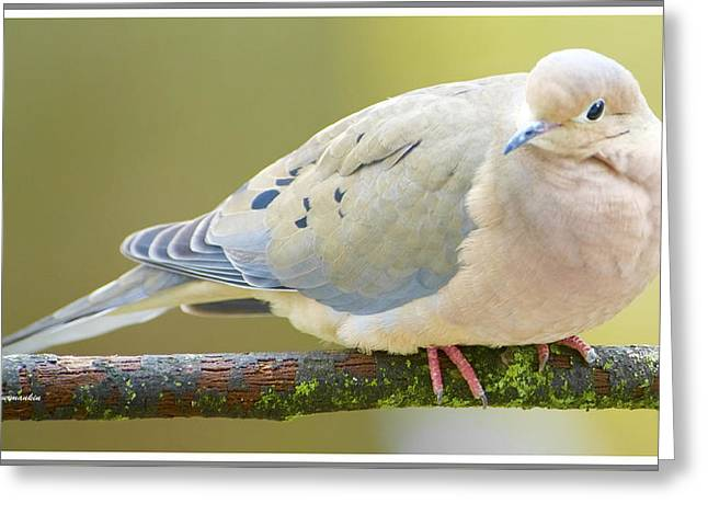 Mourning Dove On Tree Branch Greeting Card
