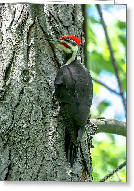 Mr. Pileated Woodpecker Greeting Card