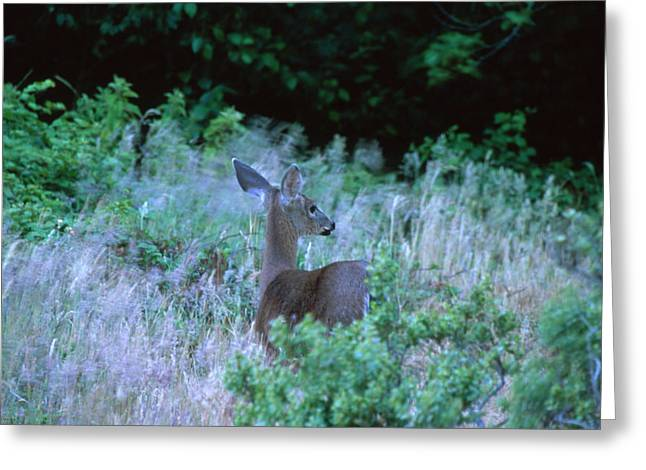 Mule Deer - Sinkyone Wilderness Greeting Card by Soli Deo Gloria Wilderness And Wildlife Photography