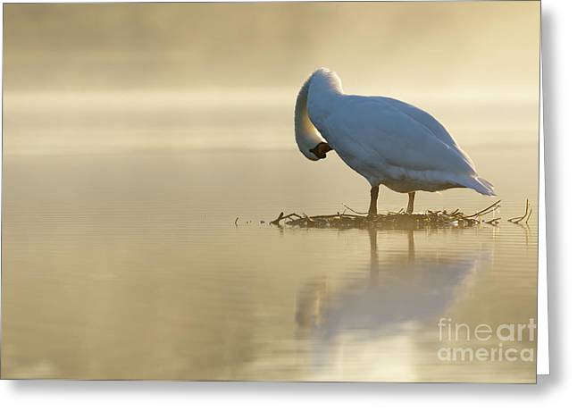 Mute Swan At Sunrise Greeting Card