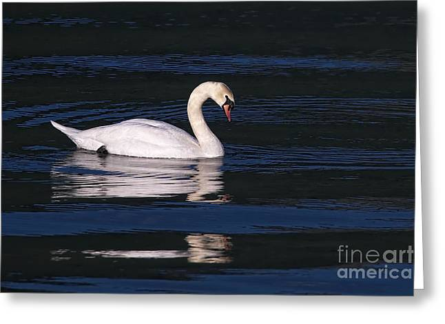 Greeting Card featuring the photograph Mute Swan  by Sharon Talson
