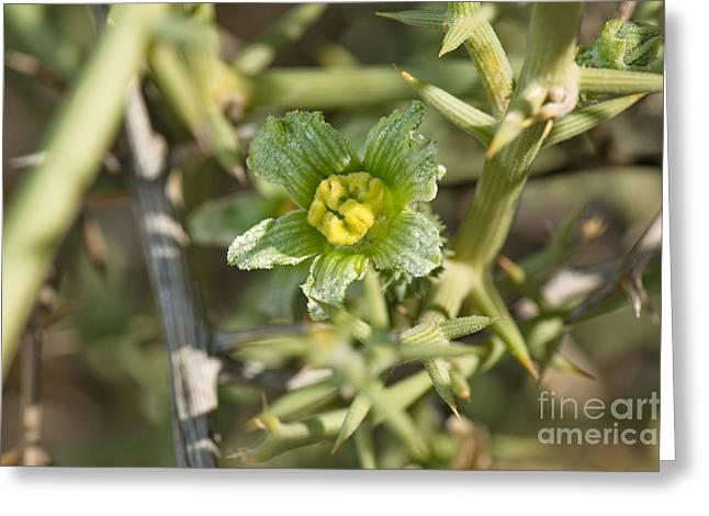 Nara Melon Flower Greeting Card