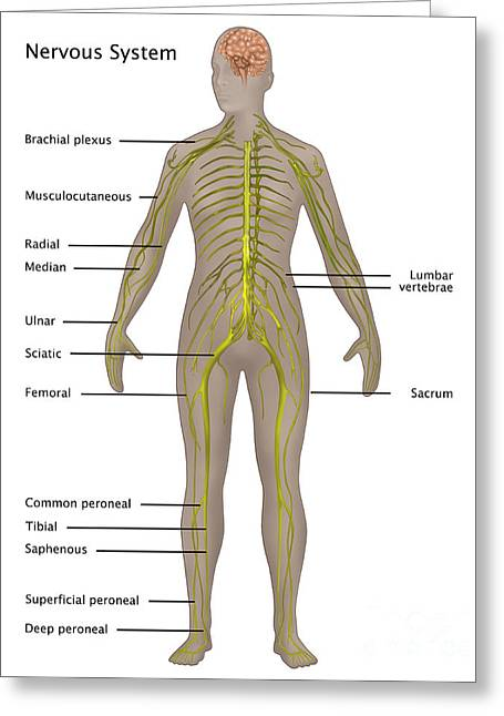 Nervous System In Female Anatomy Greeting Card by Gwen Shockey