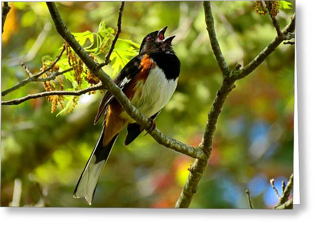 Towhee In Song Greeting Card by Dianne Cowen