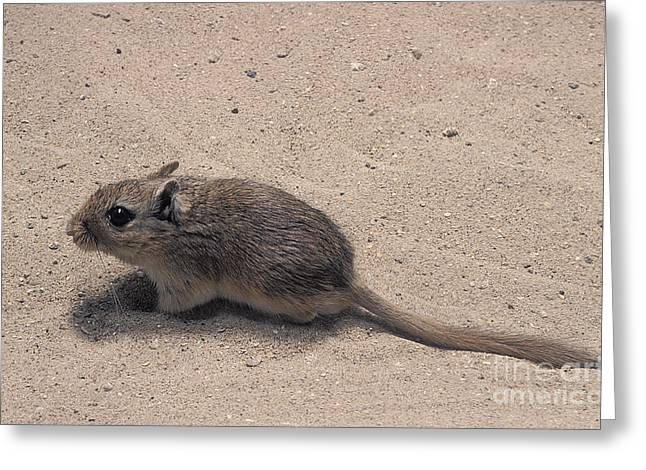 North African Gerbil Greeting Card by Gerard Lacz