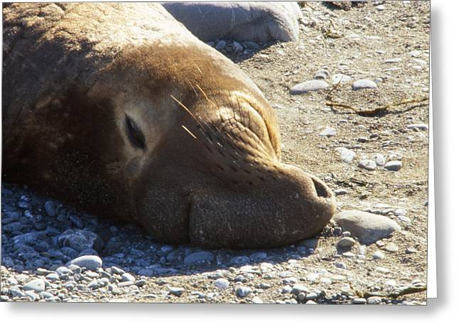Northern Elephant Seal Greeting Card by Soli Deo Gloria Wilderness And Wildlife Photography
