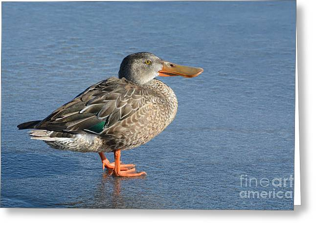 Northern Shoveler Duck Hen Greeting Card by Merrimon Crawford