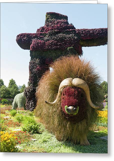 Northwest Territories Entry Is The Muskoxen Greeting Card
