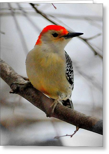 Nuttall's Woodpecker Greeting Card by Aron Chervin