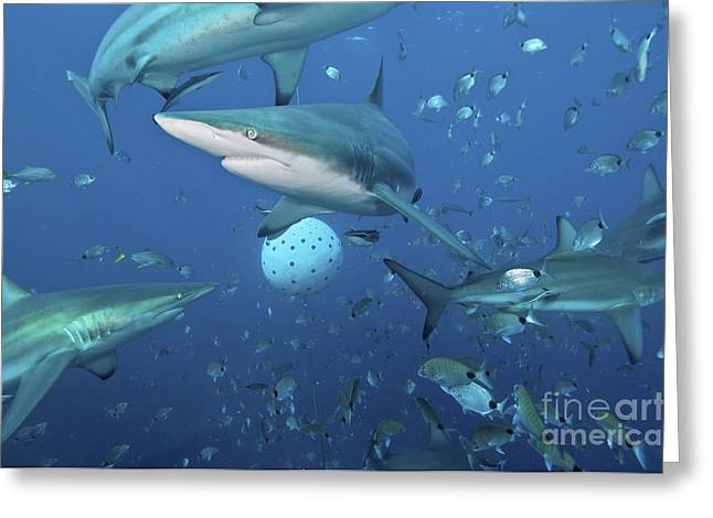 Oceanic Blacktip Sharks Fighting Greeting Card