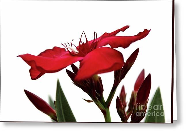 Oleander Blood-red Velvet 3 Greeting Card