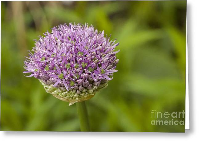 Onion Flower In Bud Greeting Card by Patricia Hofmeester