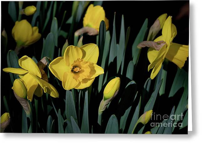 Camelot Daffodils Greeting Card