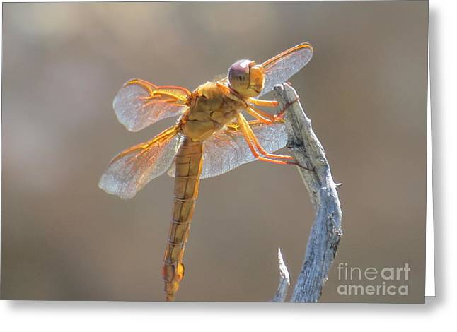 Dragonfly 5 Greeting Card