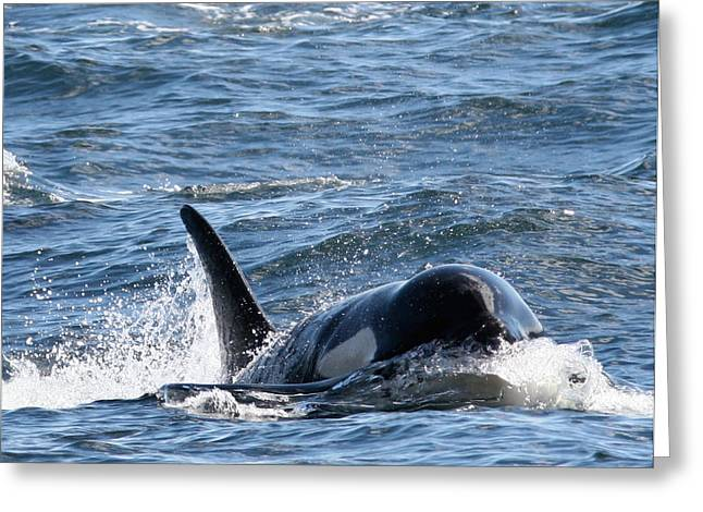 Orca Whales In The San Juan Islands Greeting Card by Sandy Buckley