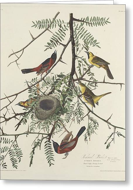 Orchard Oriole Greeting Card by Rob Dreyer