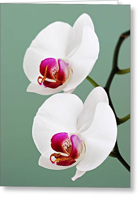 Orchid-2-st Lucia Greeting Card by Chester Williams