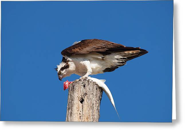 Greeting Card featuring the photograph Osprey And Lunch by Phil Stone