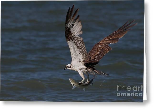 Osprey In Flight Greeting Card by Meg Rousher