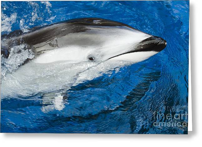 Pacific White-sided Dolphin Greeting Card by Dave Fleetham - Printscapes