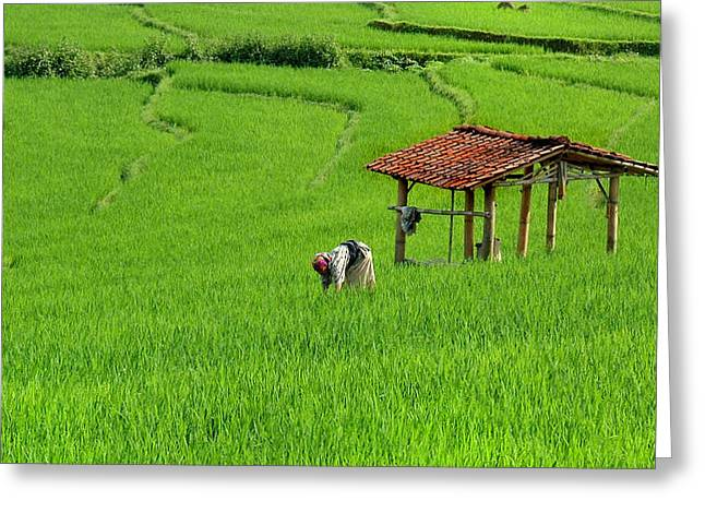 Working Women Greeting Cards - Paddy Field Greeting Card by Charuhas Images
