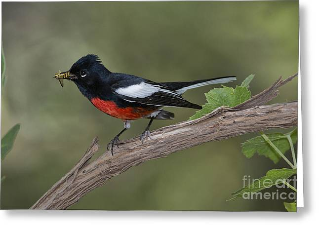 Painted Redstart Greeting Card