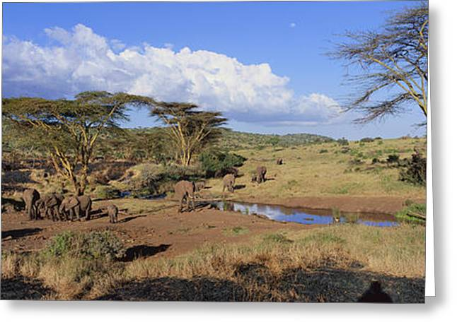 Panoramic View Of African Elephants Greeting Card