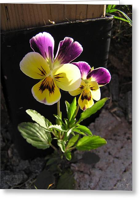 Pansy Out Of Cement Greeting Card by Richard Mitchell