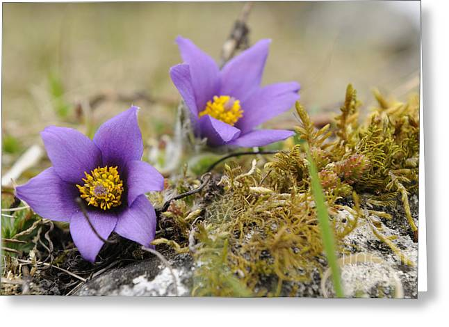 Pasque Flowers Greeting Card by David & Micha Sheldon