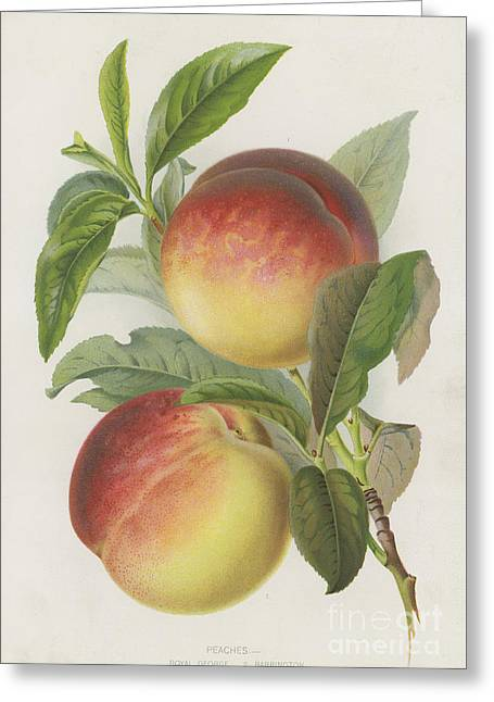 Peaches Greeting Card by English School