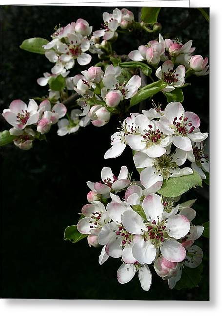 Pear Blossoms Greeting Card by Wilbur Young