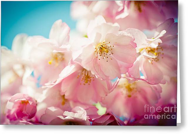 Pink Cherry Blossoms Closeup Greeting Card by Raimond Klavins