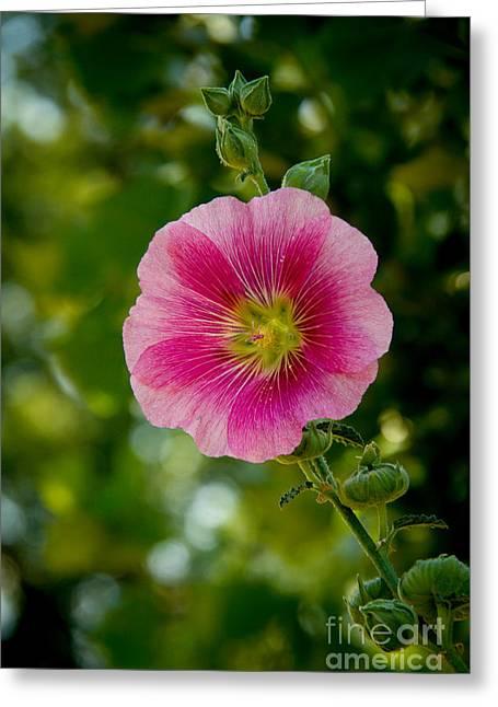 Pink Hollyhock Greeting Card
