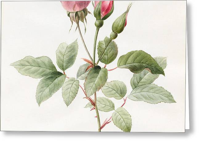 Pink Rose And Buds Greeting Card