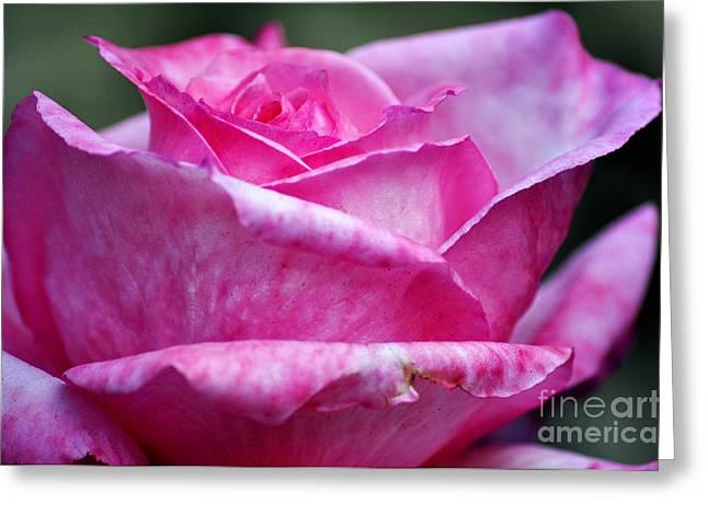 Pink Rose Greeting Card by Clayton Bruster