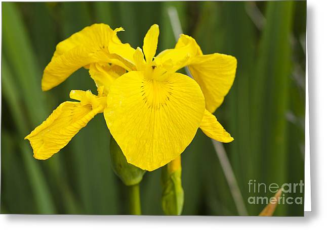 Plant Wild Flower Yellow Flag  Iris Pseudacorus Greeting Card by Hugh McKean