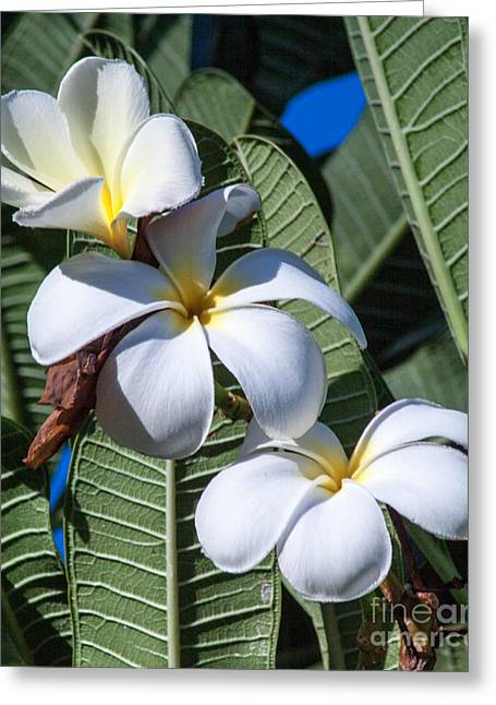 Plumeria Greeting Card