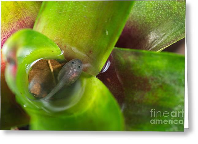 Poison Dart Frog Tadpole In Bromeliad Greeting Card