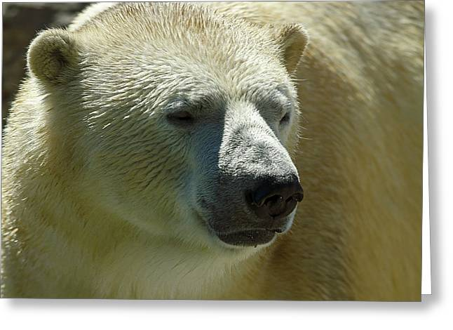 Greeting Card featuring the photograph Polar Bear by JT Lewis
