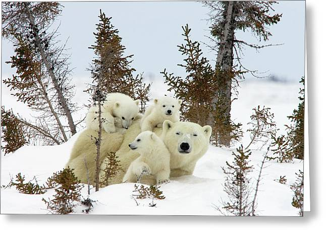 Polar Bears Greeting Cards - Polar Bear Ursus Maritimus Trio Greeting Card by Matthias Breiter