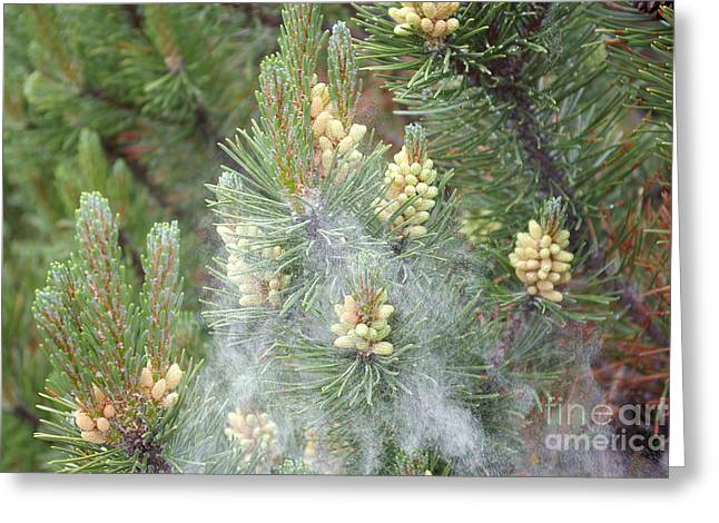 Pollen Clouds From Mugo Pine Greeting Card by Scimat