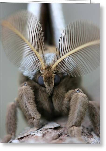 Polyphemus Moth Greeting Card by Betsy LaMere