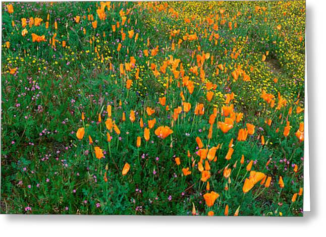 Poppies And Wildflowers, Antelope Greeting Card by Panoramic Images