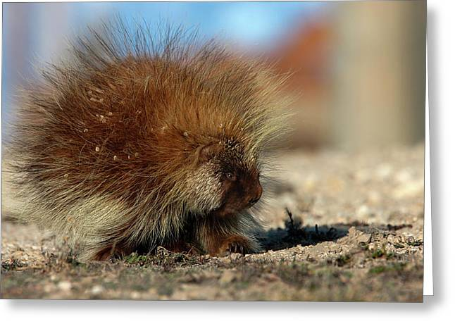 Greeting Card featuring the photograph Porcupine by Ronnie and Frances Howard