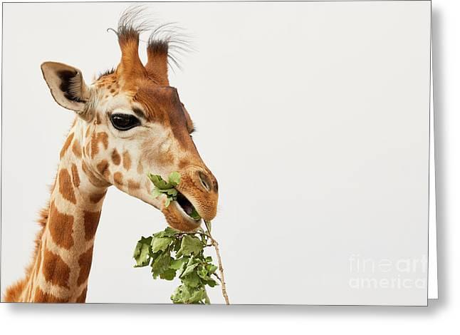 Portrait Of A Rothschild Giraffe  Greeting Card